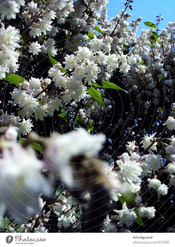 sea of blossoms Bee Blur Blossom Spring White Green Blossom leave Expel Foreground Wake up Leisure and hobbies Joie de vivre (Vitality) May sharp bee I'd rather