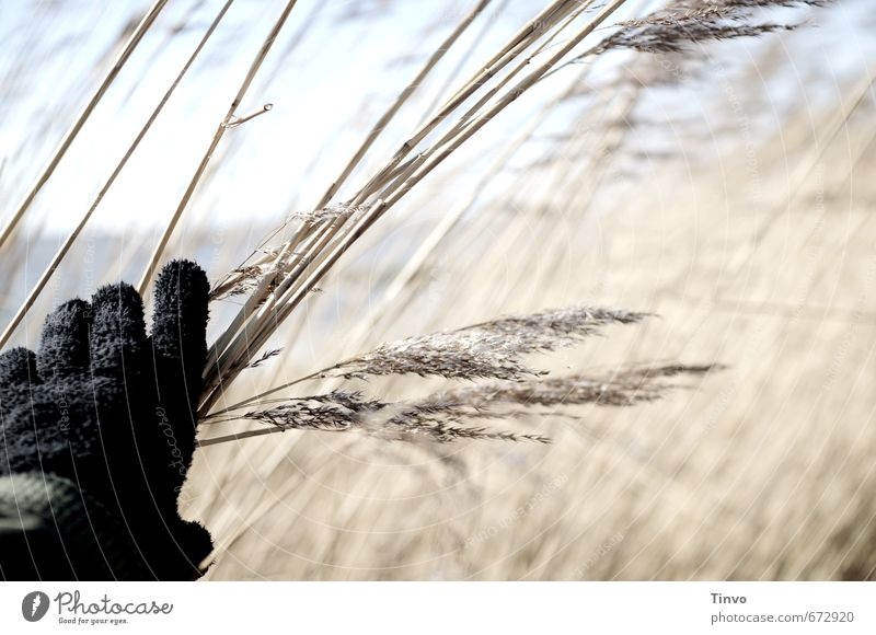 Hand that touches the reed Agricultural crop Wild plant Coast Observe Black Gloves Promenade Common Reed Hidden Undergrowth Colour photo Exterior shot