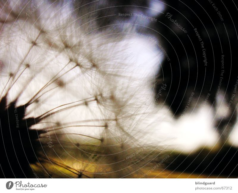 Summer Dark Dream Think Dandelion To enjoy Seed Parachute