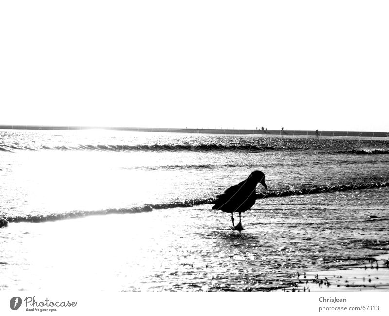 alone Loneliness Seagull Beach Ocean Search Foraging Borkum Sand Black & white photo Walking