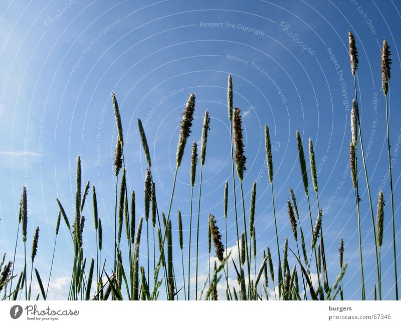 grasses Grass Summer Green Meadow Field Air Easy Clouds Worm's-eye view Aspire Growth Sky Blue Wind Above