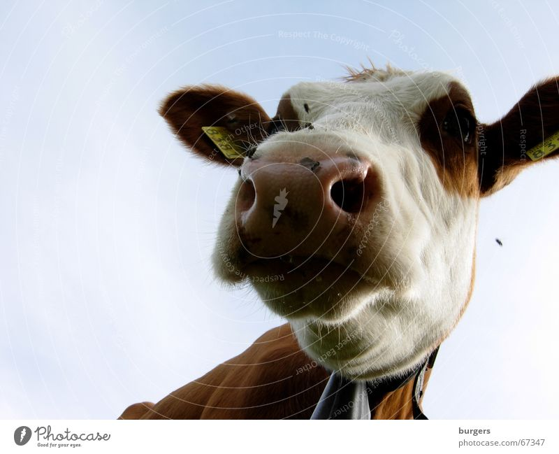 Sky Blue Meadow Brown Nose Flying Countries Farm Agriculture Cow Snout Animal Cattle