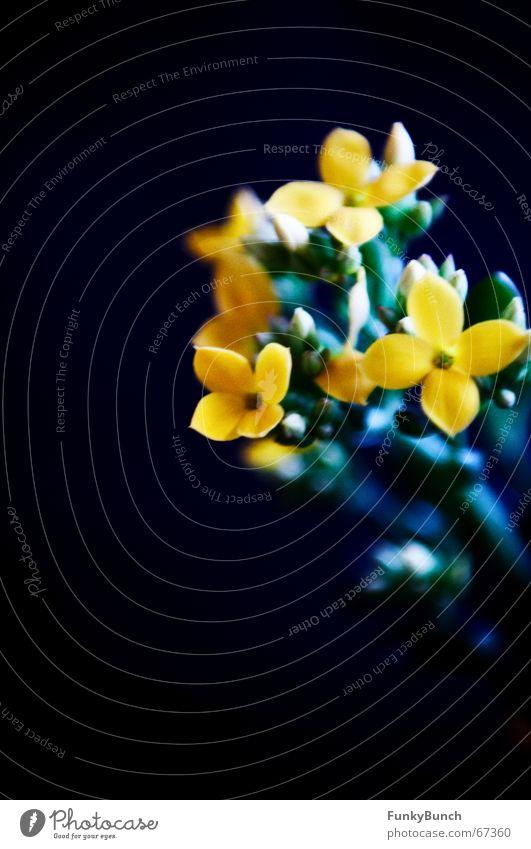 Flower Dark Cold Blossom Grief Bud Black light Sedum