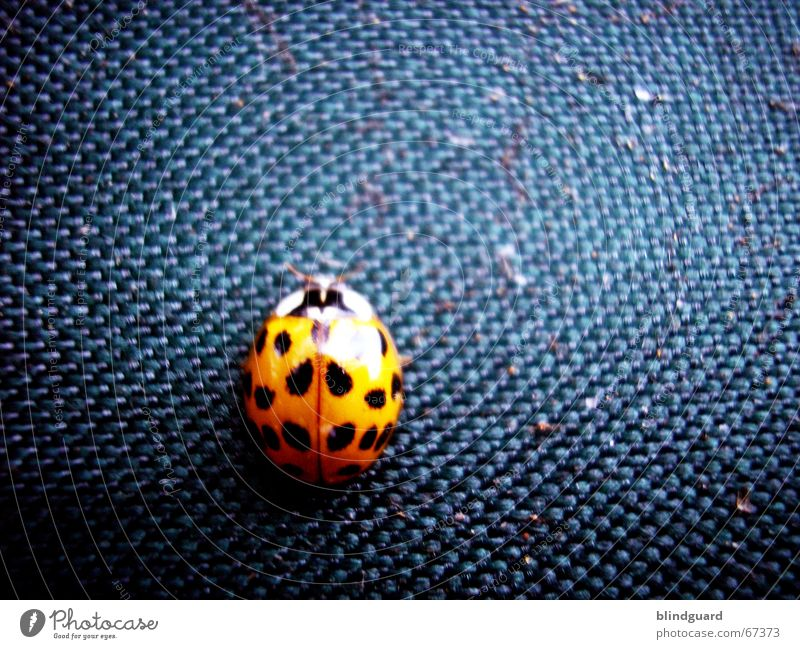 It's a bugs life Macro (Extreme close-up) Cloth Insect Bow Beetle the small guy has simply not kept still the fabric from the the tents are Orange Blue six legs