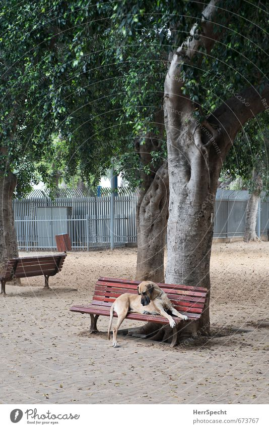 Dog City Tree Loneliness Animal Sadness Dream Park Sit Large Wait Threat Pet Park bench Mastiff Great Dane
