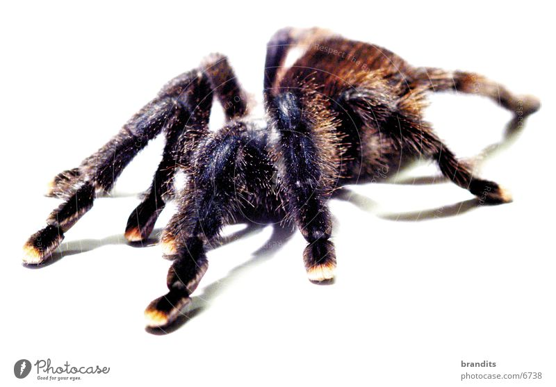 my spider Spider Bird-eating spider Animal Insect Nature Fear