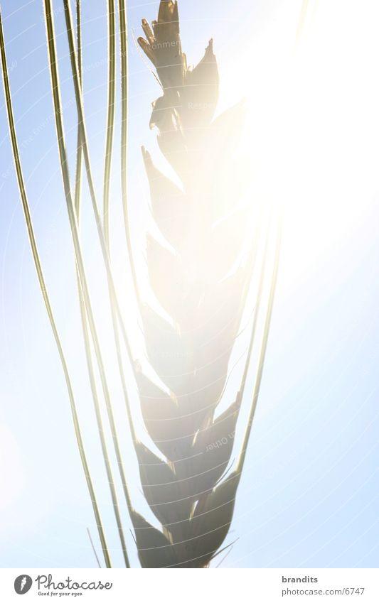 Thriving grain Wheat Blossom Field Light Grain Sun