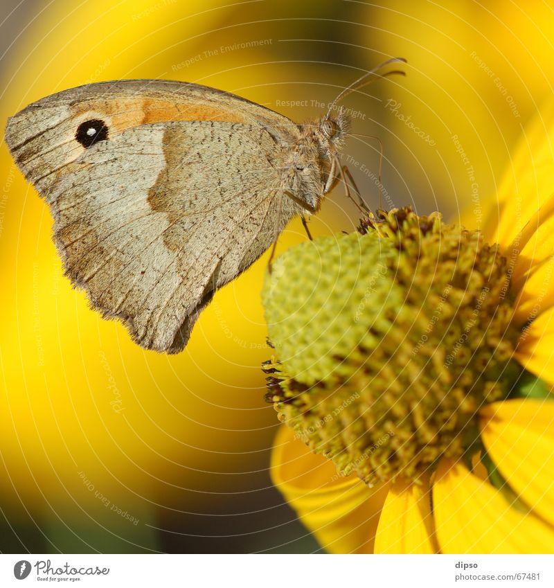 Sun Summer Eyes Yellow Blossom Wing Insect Butterfly Easy Feeler Pollen Pistil Delicate Stamen Trunk Suck