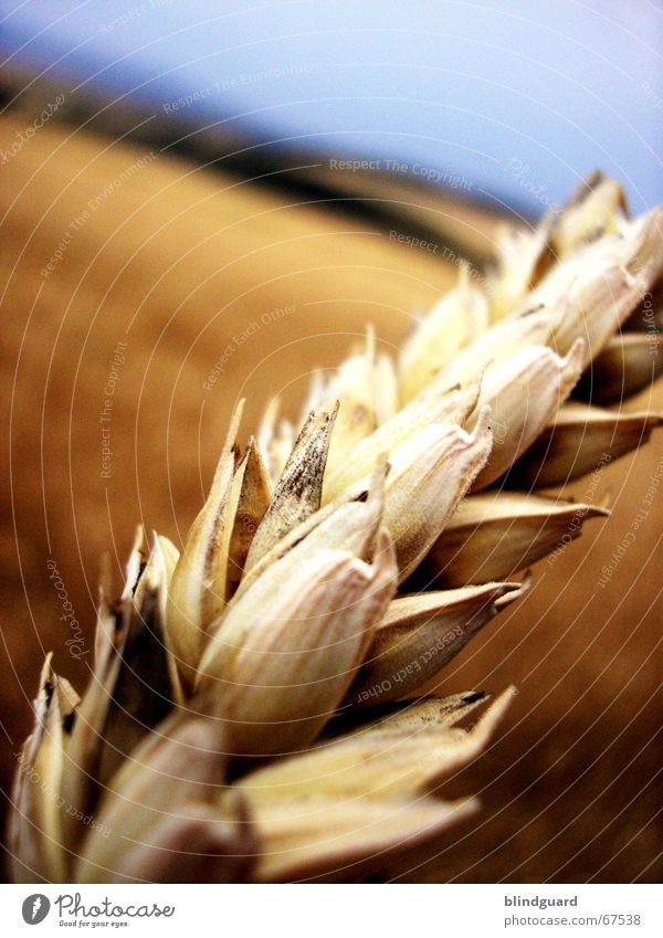 Summer Warmth Bright Field Horizon Crazy Trip Physics Grain Harvest Wheat Ear of corn Tumble down Perspiration Chewing gum