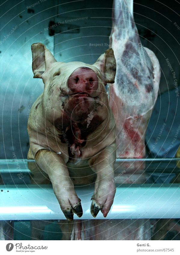 Emotions Food Nutrition Agriculture Meat Blood Mammal Animal Swine Farm animal Pigs Kill Craft (trade) Sow Butcher Slaughterhouse