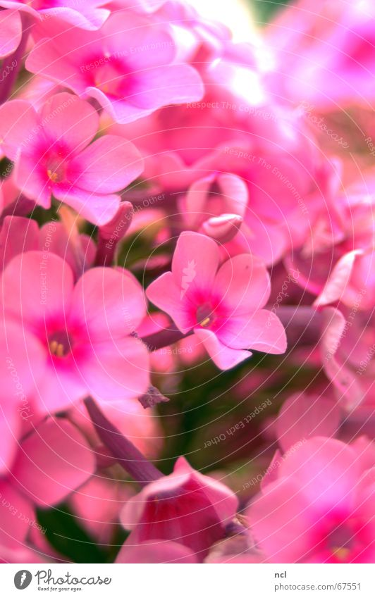 sea of flowers Flower Pink Plant Summer Spring Blossom Bouquet Bushes Versatile Vacation & Travel Flashy July Multiple Macro (Extreme close-up) Soft Velvety
