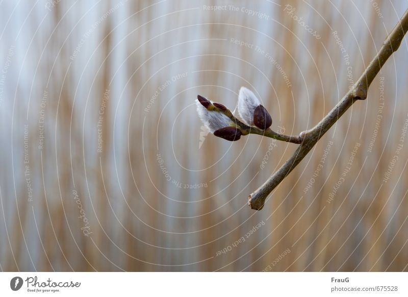 Nature Plant Spring Soft Twig Willow-tree Spring fever Catkin