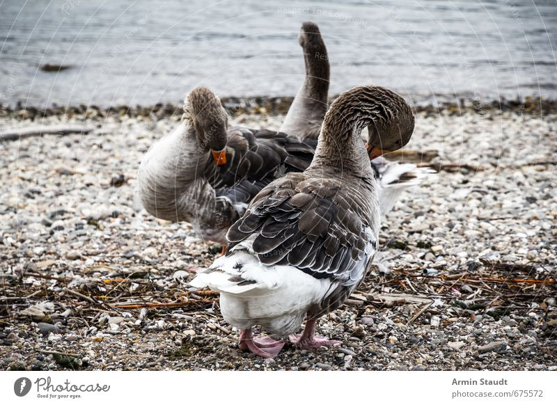 Cleaning geese on the Rhine Nature Water Beach River Wild animal Bird Goose 2 Animal Pair of animals Rutting season Stand Authentic Moody Orderliness