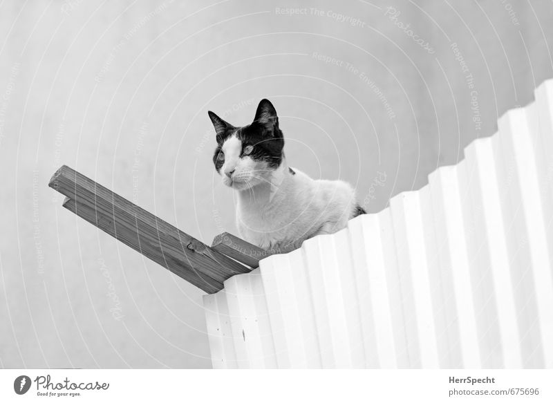 Cat Beautiful White Animal Black Wall (building) Wall (barrier) Gray Wood Metal Sit Wait Esthetic Threat Curiosity Strong