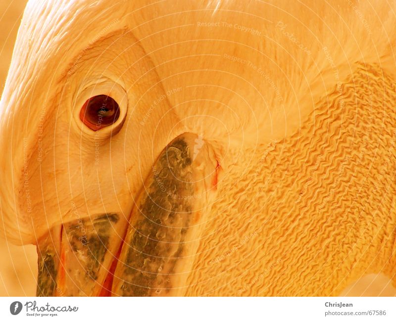 Eyes Animal Think Bird Feather Beak Pride Pelican Bird's eyes Bird's head