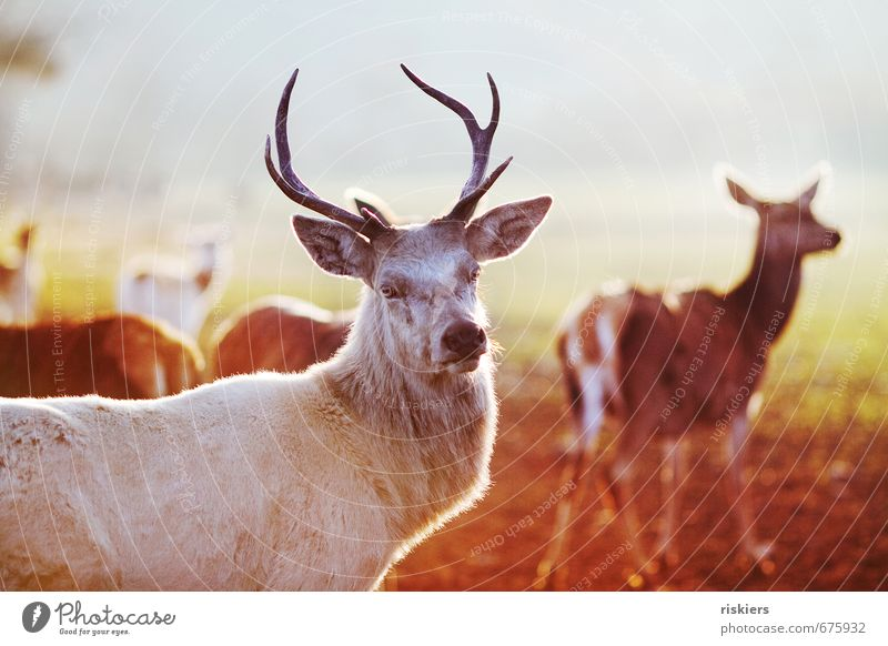 the white stag Environment Nature Sun Spring Beautiful weather Meadow Animal Wild animal Deer Group of animals Observe Looking Wait Esthetic Exceptional Elegant