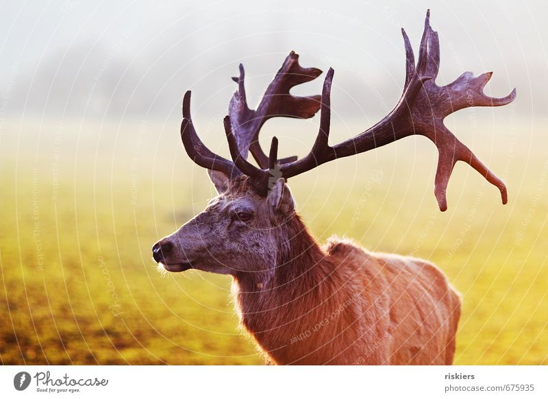 the majestic stag Environment Nature Sunlight Spring Beautiful weather Meadow Animal Wild animal Deer Red deer 1 Observe Looking Wait Esthetic Gigantic Power