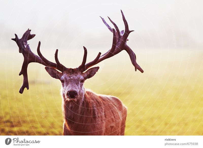 the majestic stag ii Environment Nature Spring Beautiful weather Meadow Animal Wild animal 1 Observe Looking Wait Esthetic Exceptional Elegant Self-confident