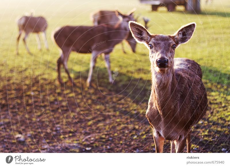 the deer with the glowing eyes Environment Nature Sun Sunrise Sunset Sunlight Spring Beautiful weather Meadow Animal Wild animal Roe deer Group of animals