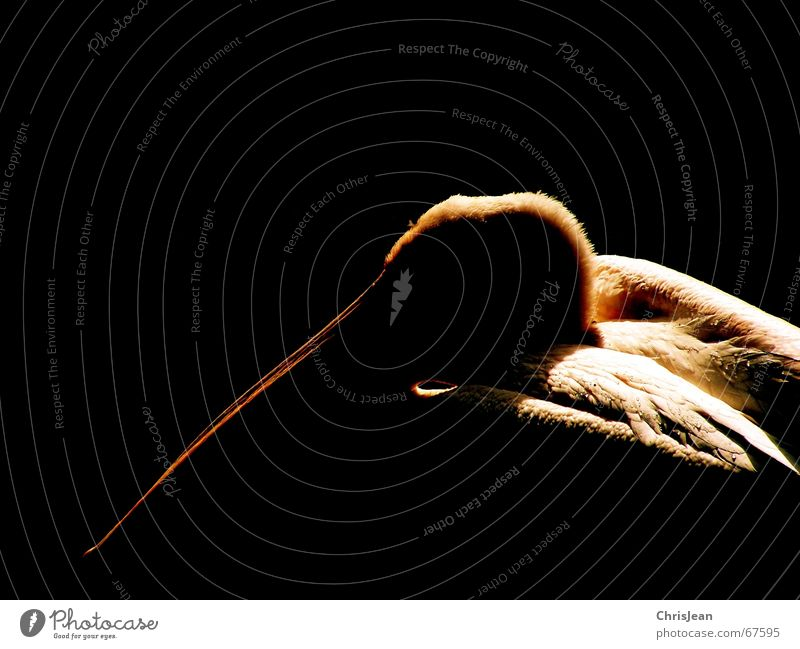 Black Animal Dark Think Bird Feather Beak Pride Pelican Processed Bird's head