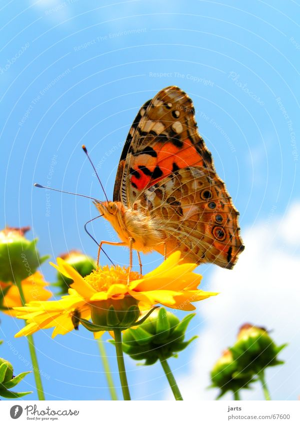 butterfly Summer hue Butterfly Flower Clouds Multicoloured Beautiful pearly butterfly Sky Colour Wing jarts