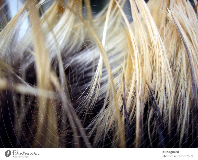 Hair-I-Krischna Hair and hairstyles Blonde bleached Dyeing Strand of hair Hair structures Detail Section of image Partially visible Tip of the hair Colour