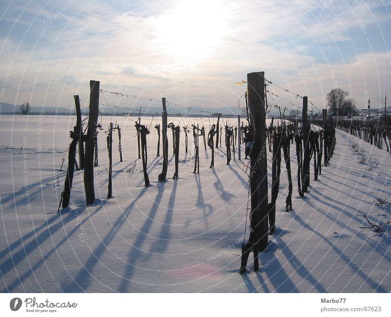 Vineyard in winter Wine growing Winter Light Sunset Back-light Snow Shadow