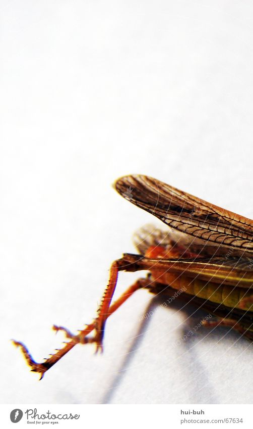chopped up Locust Legs Yellow To feed Hind leg Death dead lying Lie foot Wing flyed flying with Nutrition Hind quarters