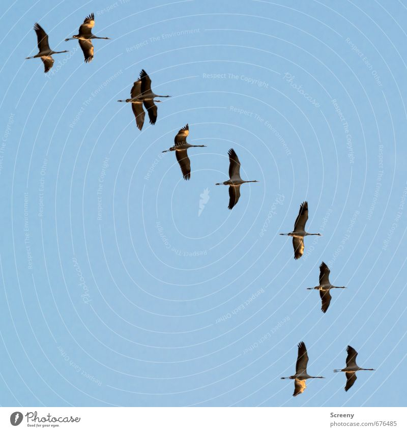 Sky Nature Blue Animal Spring Bird Flying Wild animal Group of animals Cloudless sky Floating Flock Crane Spring fever Traveling Winter activities