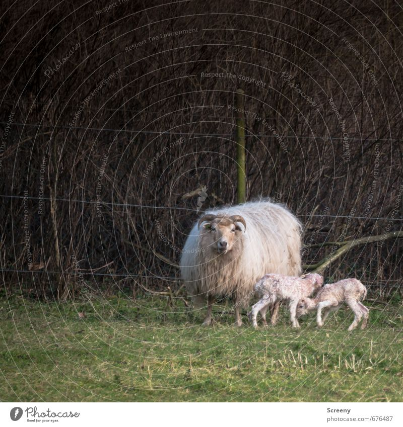 mother's happiness Nature Spring Grass Field Village Animal Farm animal Pelt Sheep 3 Baby animal Animal family Stand Happy Cute Joie de vivre (Vitality)