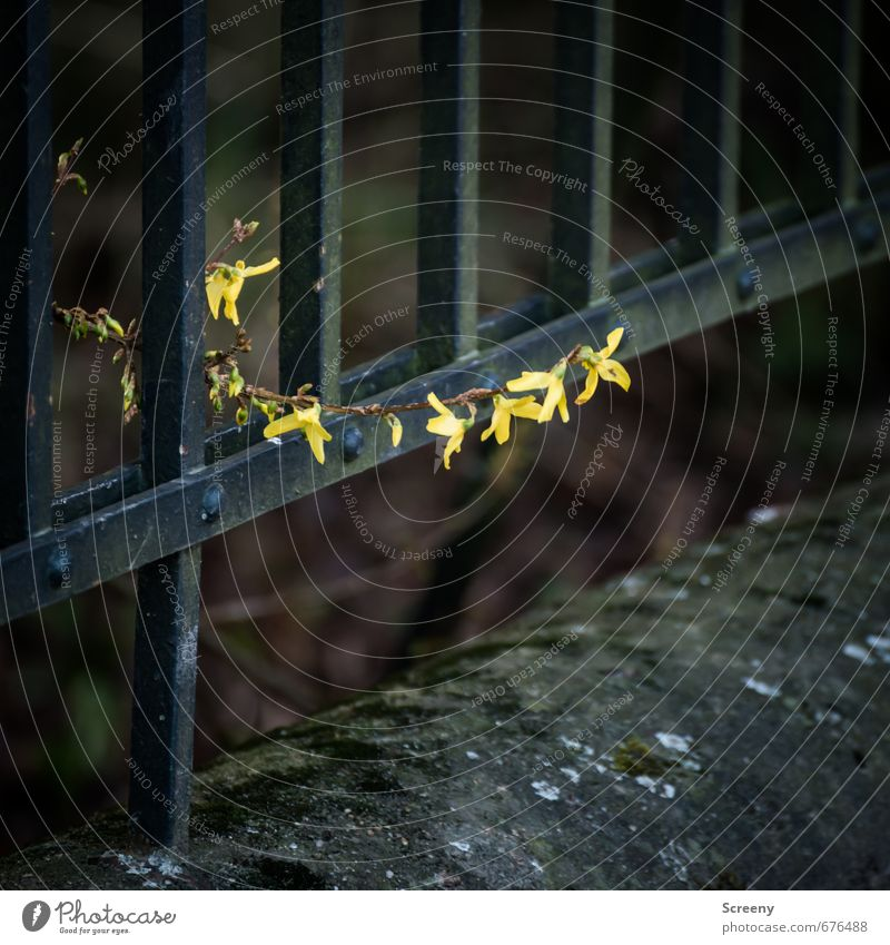 boundless Environment Nature Plant Spring Blossom Park Wall (barrier) Wall (building) Fence Metal Yellow Black Optimism Power Brave Life Hope Growth Bushes