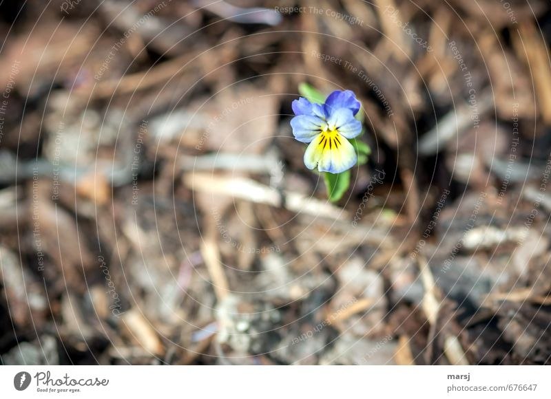 lone fighters Nature Plant Spring Summer Flower Blossom Wild plant Violet plants Pansy blosssom Garden Blossoming Illuminate Dream Growth Elegant Friendliness