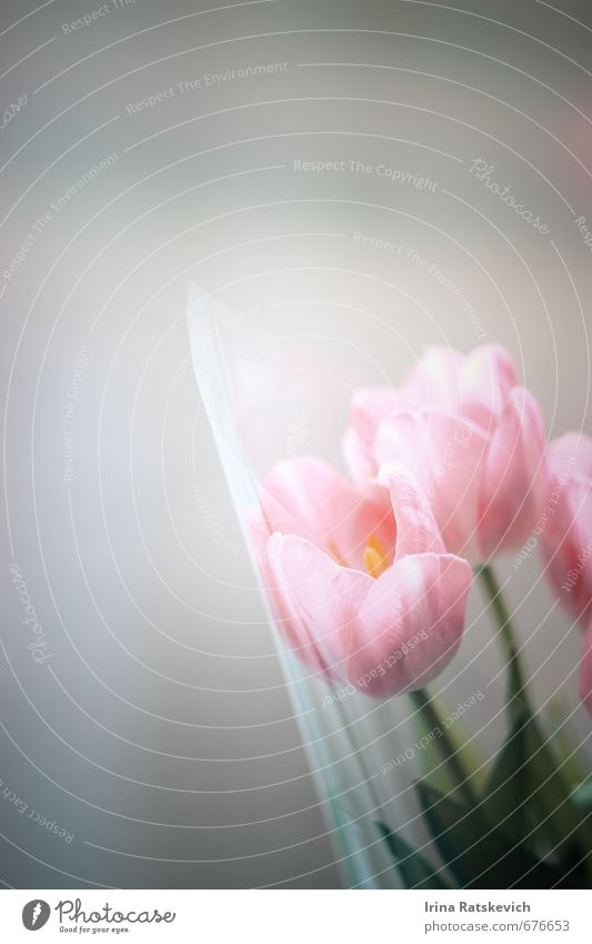 tulips Nature Plant Spring Flower Tulip Leaf Blossom Blossoming To enjoy Beautiful Cute Pink Emotions Joy Happiness Warm-heartedness Colour photo Deserted