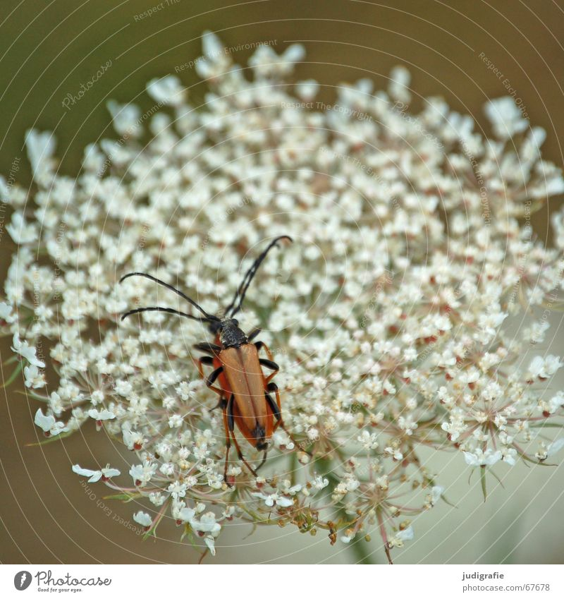 Nature White Flower Summer Black Blossom Legs Brown Insect Beetle Feeler Propagation Medicinal plant Consecutively