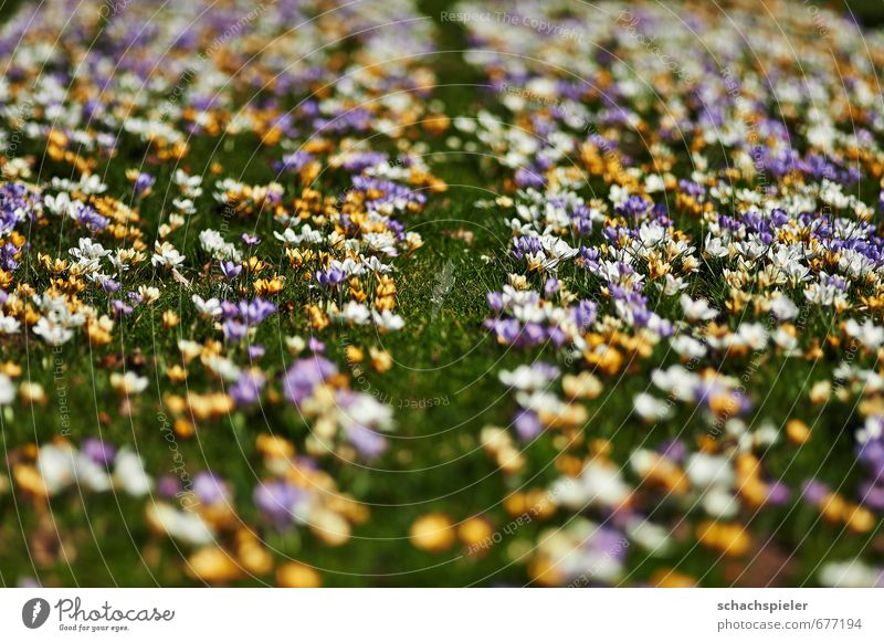 crocodile carpet Garden Spring Flower Blossom Meadow Beautiful Yellow Green Violet White Crocus irises Play of colours Colour palette Blaze of colour
