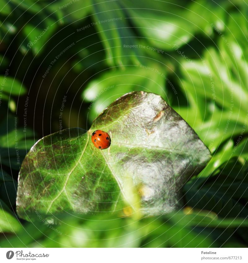 luck Environment Nature Plant Animal Spring Bushes Leaf Beetle 1 Bright Small Warmth Green Red Black Ladybird Ivy Colour photo Multicoloured Exterior shot