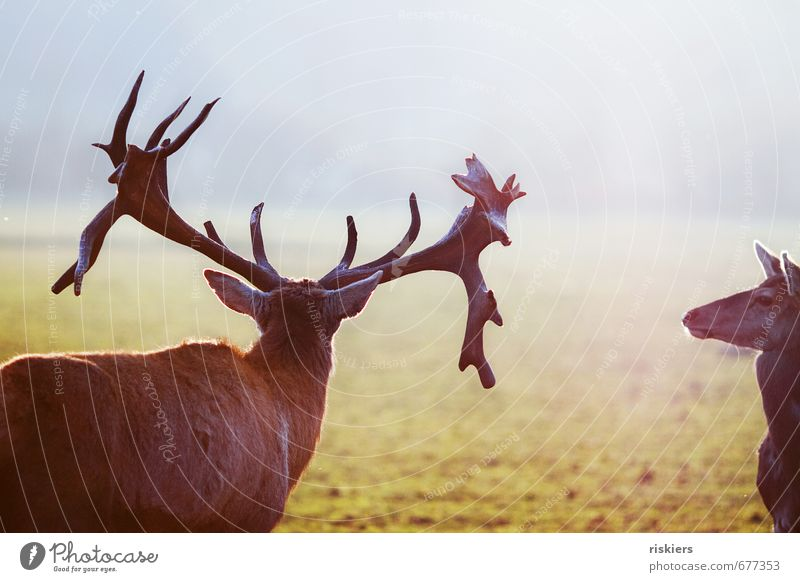 the majestic stag and the deer Environment Nature Sun Sunlight Spring Beautiful weather Meadow Animal Wild animal Deer Roe deer Red deer 2 Pair of animals