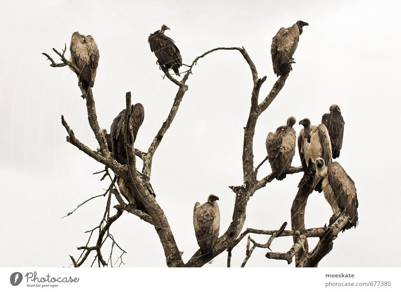 Tree Dark Bird Wait Appetite Bleak Dreary South Africa Vulture Krueger Nationalpark