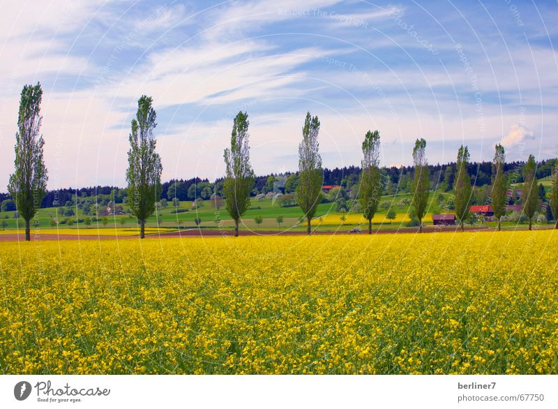 Nature Blue Summer Clouds Yellow Landscape Large Hill Canola Poplar
