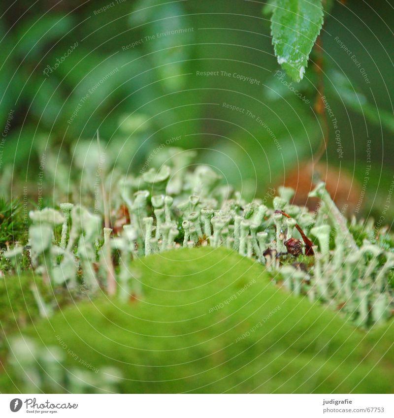moss Moss Algae Funnel Trumpet Green Leaf Wet Damp Fairy tale Small Summer Lichen Bond Life Nature elfin land