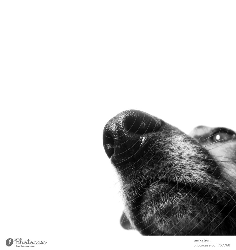 Always after the nose ... Dog Snout Odor Black White Testing & Control Pelt Watchfulness Isolated Image Nose Black & white photo Macro (Extreme close-up)
