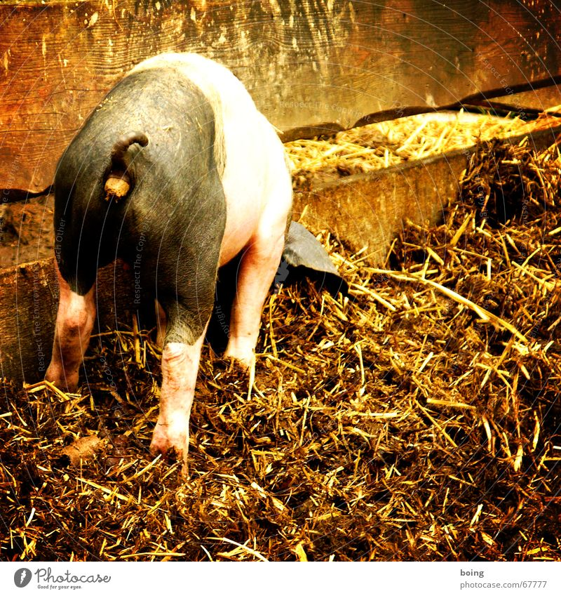 Nutrition Farm Feces Agriculture Mammal Pet Swine Organic produce Organic farming Password Fold Livestock Sow Pigs Biological Manure