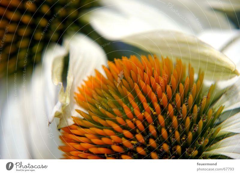white sun hat Blossom Flower Plant Herbaceous plants Summer Blossom leave White Garden Sunhat Bud sun shade