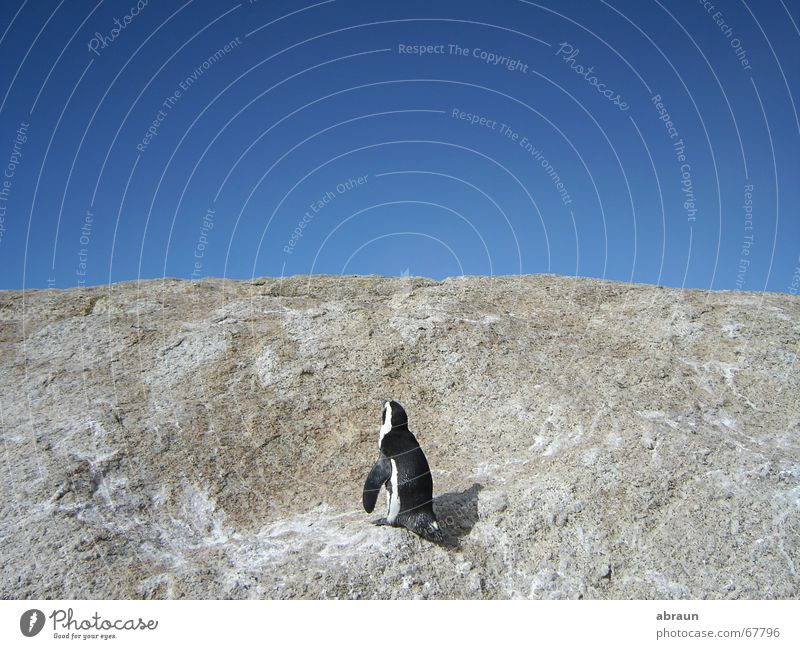 Sky Ocean Blue Above Horizon Penguin South Africa Cape Town