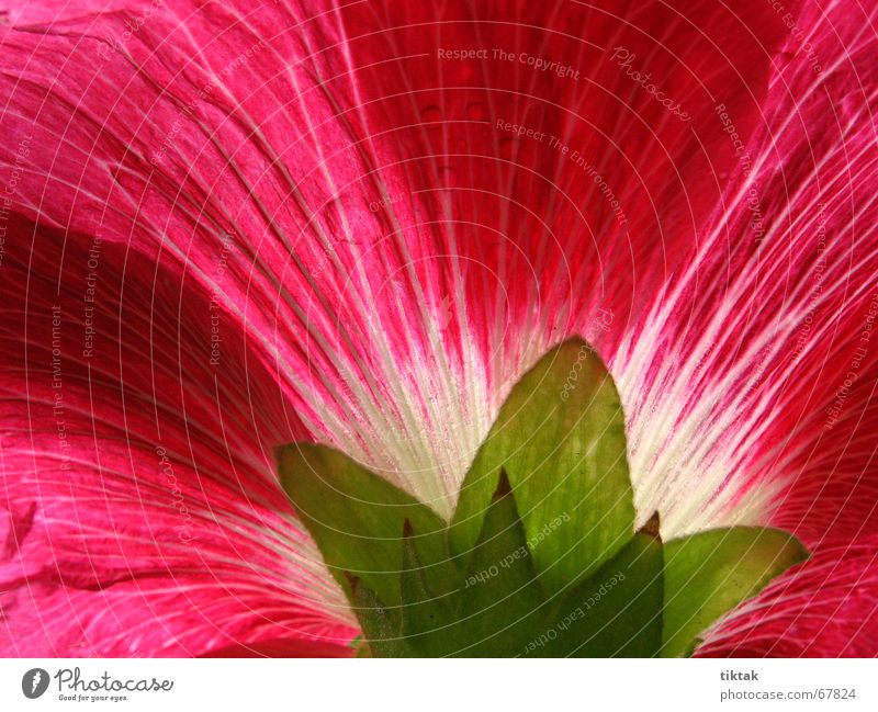 Nature Beautiful Flower Green Plant Red Summer Blossom Garden Lighting Growth Blossoming Fragrance Botany Cast Blossom leave