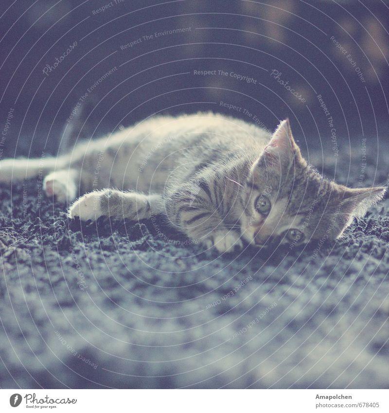 ::14-4:: Pet Cat Animal Baby animal Lie Eye colour Animal shelter Looking Cat eyes Kitten Carpet Flat (apartment) Pet shop Domestic cat Gray Tiger