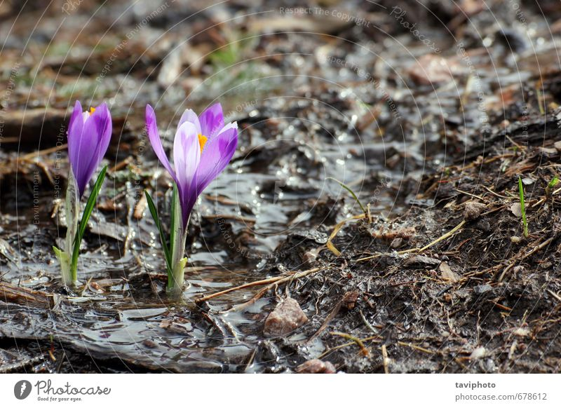 wild saffron growing in spring Beautiful Life Nature Plant Spring Flower Grass Leaf Blossom Growth Fresh Small Natural New Wild Green Colour Saffron Crocus