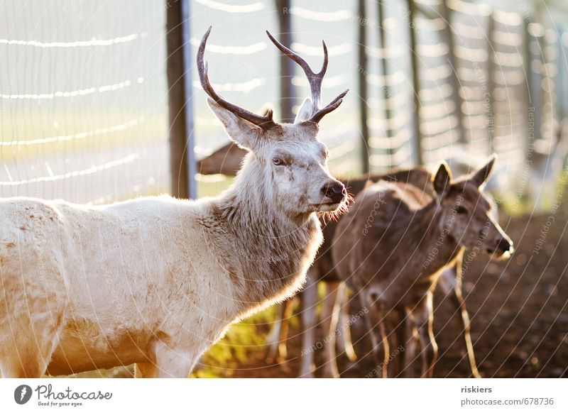 the white stag with the beautiful eyes Environment Nature Sunrise Sunset Sunlight Spring Autumn Beautiful weather Meadow Field Animal Wild animal Deer Roe deer