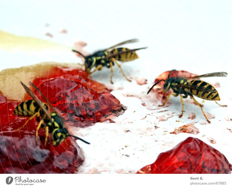 White Red Nutrition Animal Wing Insect Plate Striped Spine Pierce Wasps Jam Honey-comb Wasps' nest