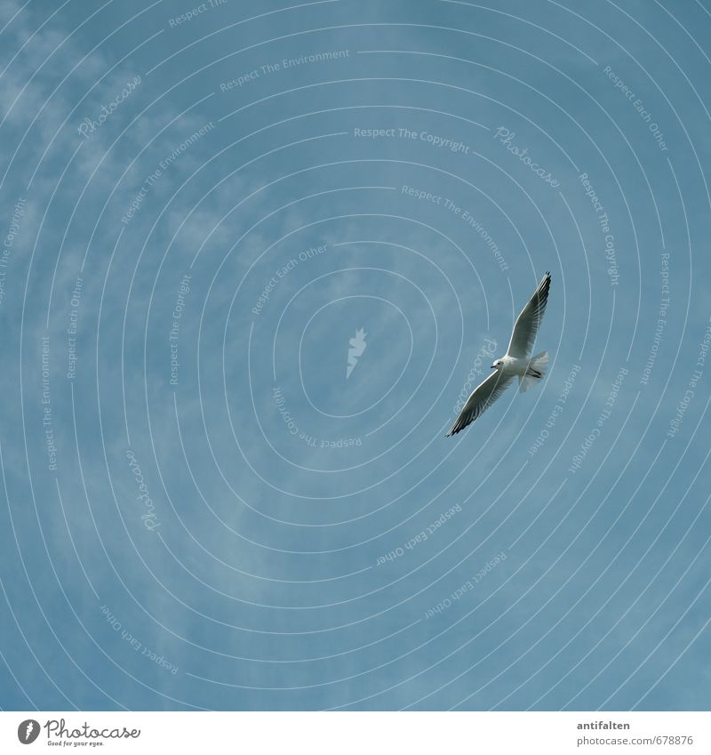 gliding flight Environment Nature Sky Cloudless sky Spring Summer Beautiful weather Wind Animal Wild animal Bird Animal face Wing Seagull Gull birds 1 Flying